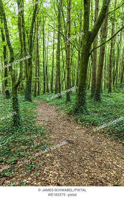 Path though green summer woods in County Mayo in western Ireland
