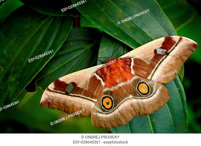 Beautiful big butterfly Gonimbrasia belina