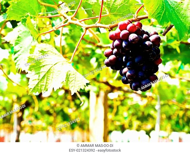 Bunch of red grapes with green leaves in Wine yard in Nakorn Ra