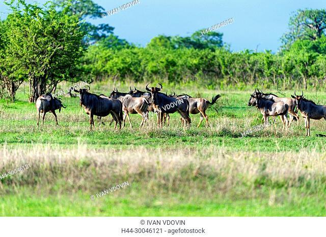 Connochaetes taurinus, Gnu, Tanzania, East Africa