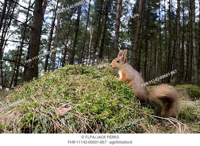 Eurasian Red Squirrel (Sciurus vulgaris) adult, standing on mossy mound in coniferous forest, Glenlivet, Cairngorms N.P., Banffshire, Highlands, Scotland, March