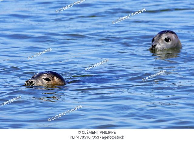 Two young grey seals / gray seals (Halichoerus grypus) swimming in the Ythan Estuary, Sands of Forvie, Newburgh, Aberdeenshire, Scotland