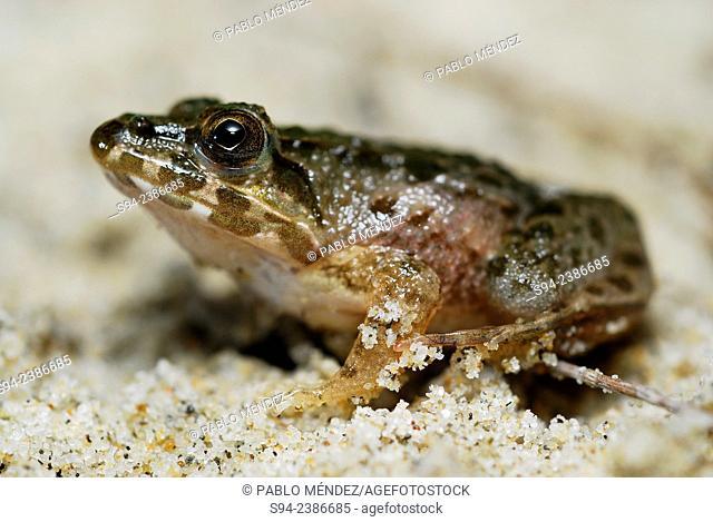 Frog (Fejervarya cancrivora) in a beach of Cherating, Pahang, Malaysia
