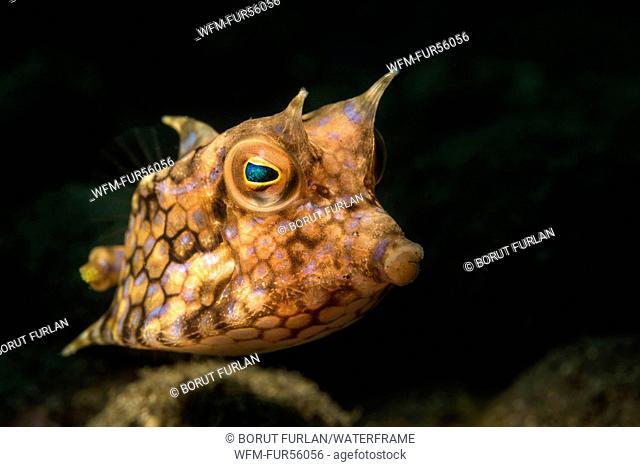 Longhorn Cowfish, Lactoria cornuta, Pantar, Alor Archipelago, Lesser Sunda Islands, Indonesia