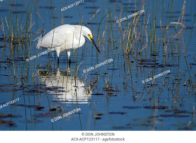 Snowy egret (Egretta thula), St. Marks NWR, Florida, USA