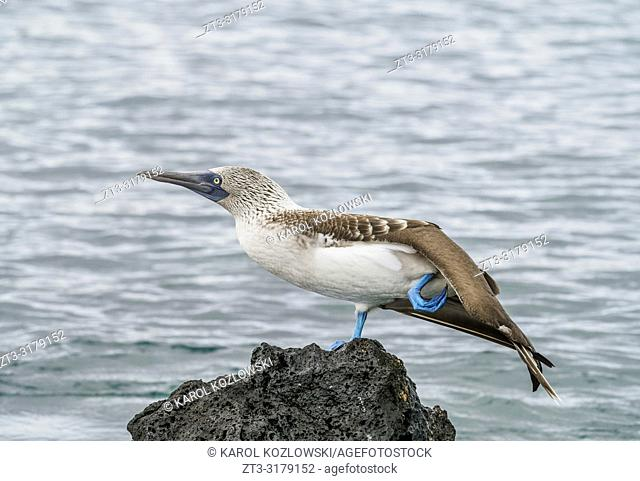 Blue-footed booby (Sula nebouxii) on the rocky coast by the Bachas Beach, Santa Cruz or Indefatigable Island, Galapagos, Ecuador