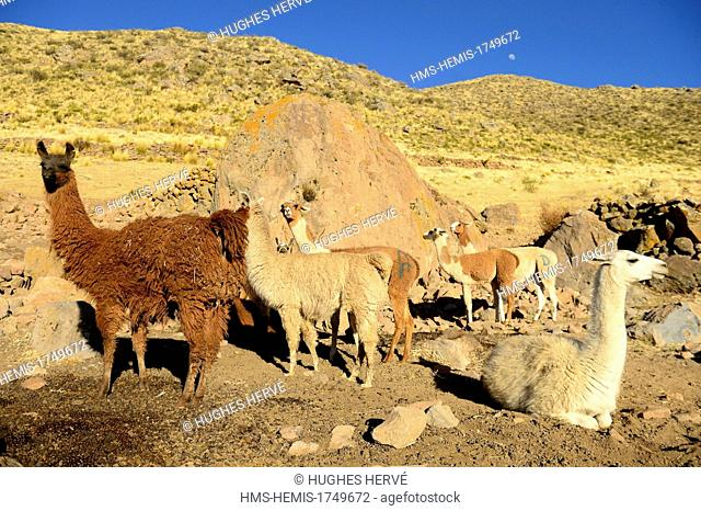 Peru, Arequipa province, Tuti, herd of llamas on a farm on the slopes of the volcano Mismi (5597m)
