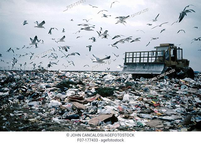 Laughing Gulls (Larus atricilla) at dump. Texas. USA