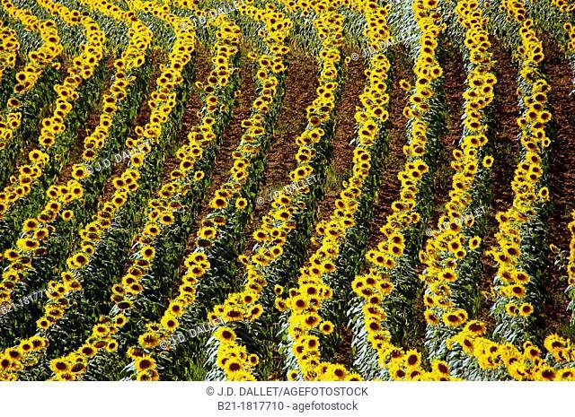 France-Midi Pyrénnées-Gers- Pilgrimage way to Santiago de Compostela  Sunflowers near Manciet