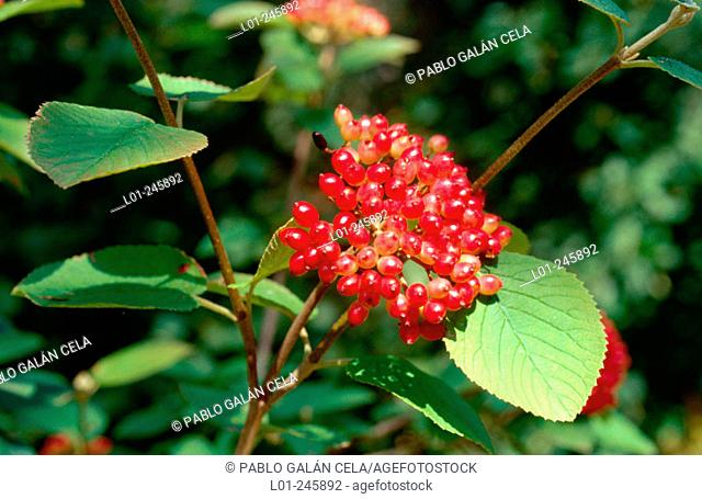 Mohican (Viburnum lantana). Leaves and fruits. Poisonous plants