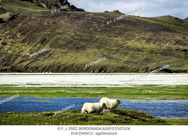 Sheepherd at Landmannalaugar area, Highland Iceland