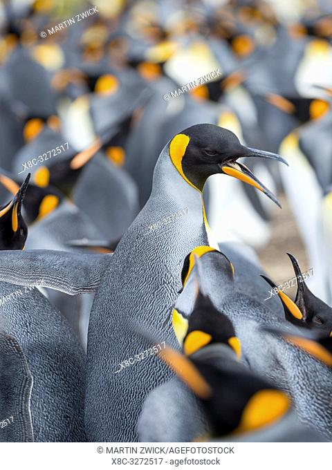 Adult runnig through rookery while being pecked at by neighbours. King Penguin (Aptenodytes patagonicus) on the Falkland Islands in the South Atlantic