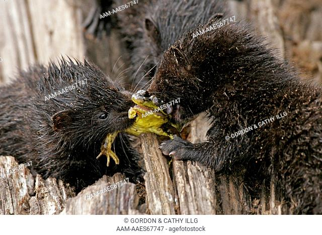 Juvenile mink (Mustela vison) fighting over frog. Pine County, MN captive (frog prey)