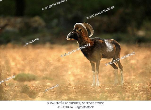 Mouflon Ovis musimon in the Sierra Mariola. Alicante