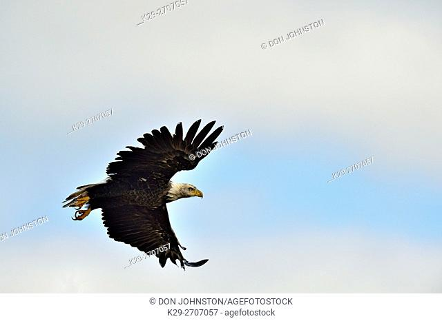 Bald eagle (Haliaeetus eucocephalus), Yellowknife, Northwest Territories, Canada