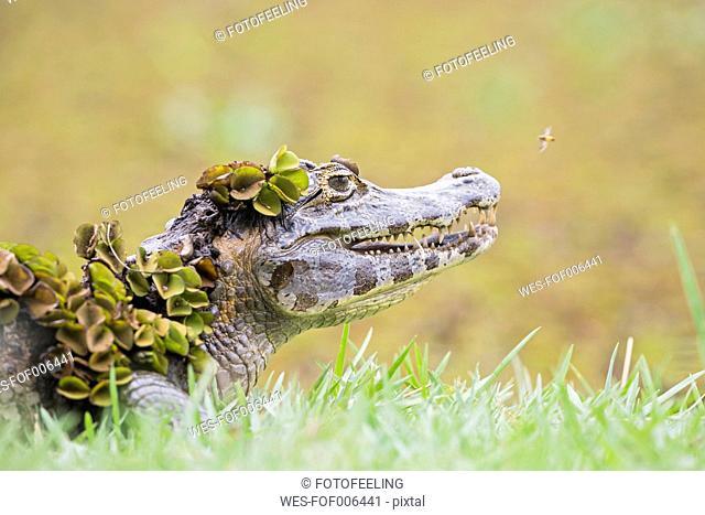 South America, Brasilia, Mato Grosso do Sul, Pantanal, Yacare caiman, Caiman yacare