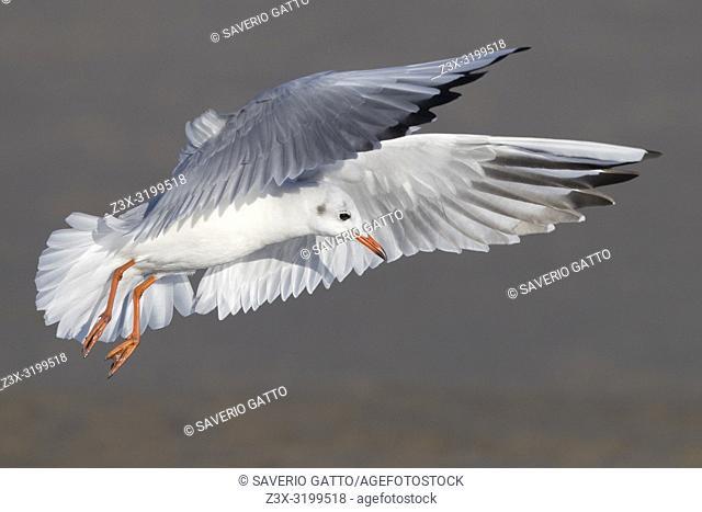 Black-headed Gull (Chroicocephalus ridibundus), adult in winter plumage in flight