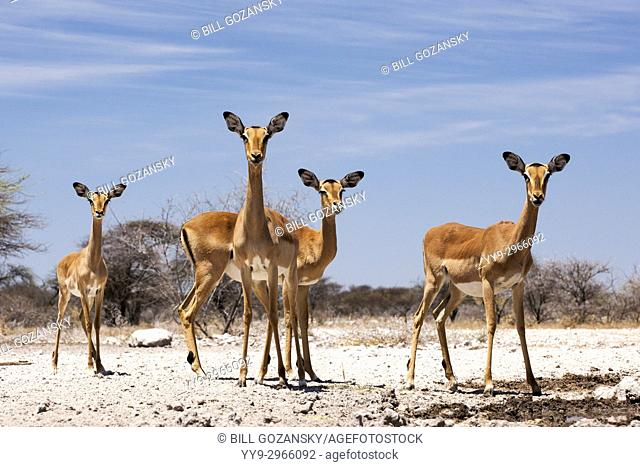 Female Impalas on alert at Onkolo Hide, Onguma Game Reserve, Namibia, Africa