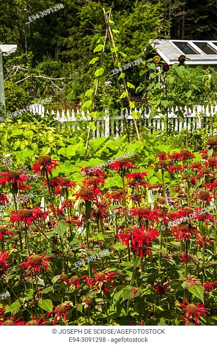 A large stand of Bee Balm in a mixed perennial garden with a white picket fence in the background