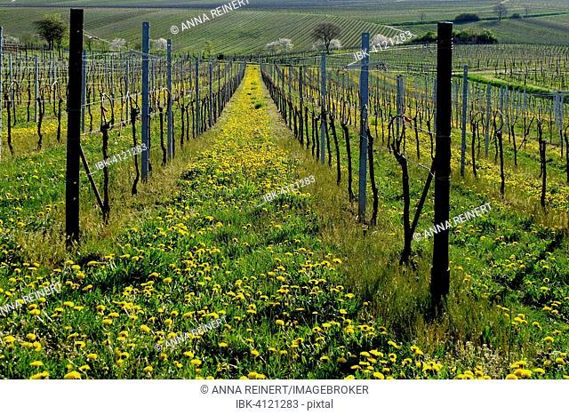 Vineyard in spring, Godramstein, Southern Palatinate, Palatinate, Rhineland-Palatinate, Germany