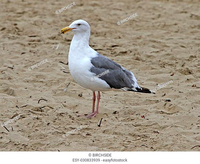 Western Gull (Larus occidentalis) adult in winter at Pismo Beach, CA