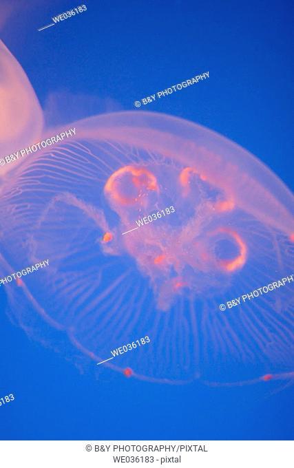 Moon Jelly fish