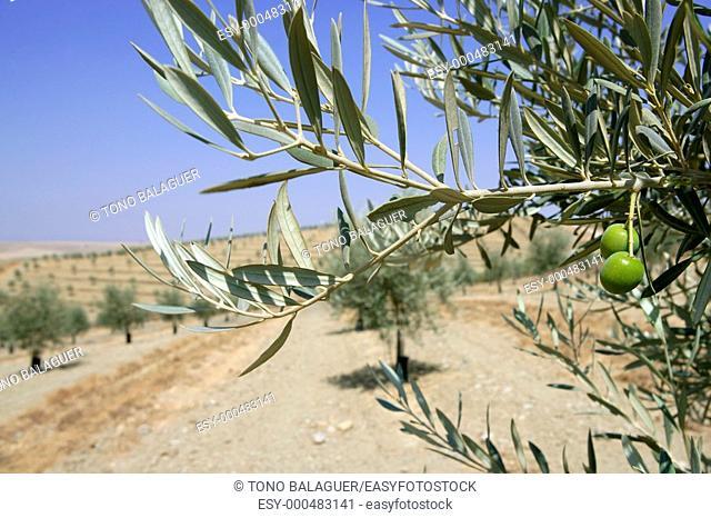 Beautiful green olive field macro detail over blue sky