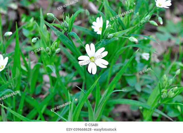 picture of Stellaria holostea in blossom during spring