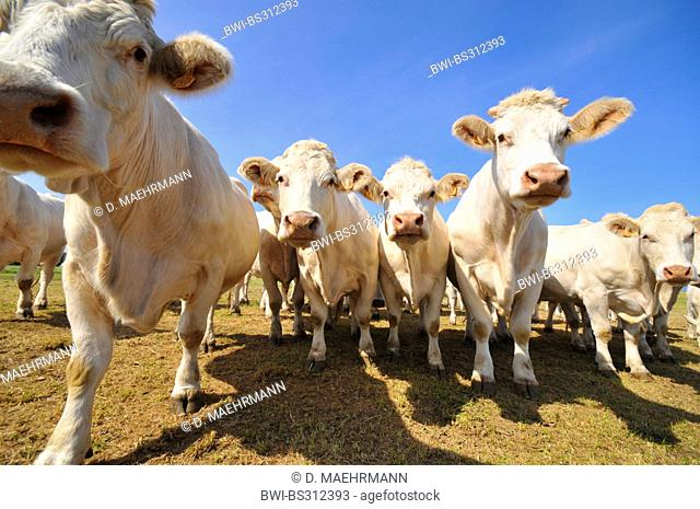 Charolais cattle, domestic cattle (Bos primigenius f. taurus), cattle herd standing on a pasture, France, Brittany, Erquy