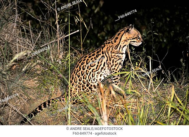 Ocelot, Leopardus pardalis, at night, Fazenda San Francisco, Miranda, Mato Grosso do Sul, Brazil