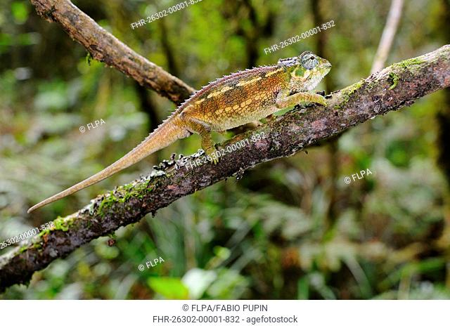 Rough Chameleon Trioceros rudis adult, walking along branch in montane rainforest, Nyungwe Forest N P , Rwanda