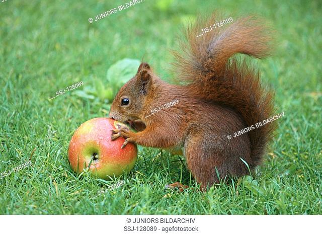 red squirrel at apple - Sciurus vulgaris