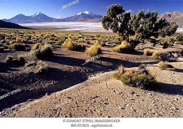 Quenoa tree (lat.; polylepis besseri), Monumento Nacional de Salar de Surire, Chile