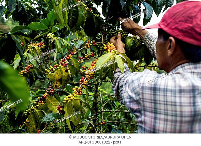 A man picks cherries at a farm in the rural highlands of Colombia's coffee axis