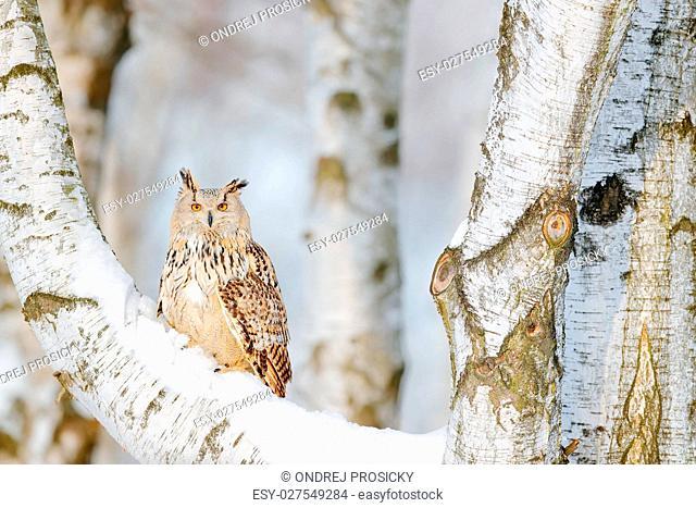 Big Eastern Siberian Eagle Owl, Bubo bubo sibiricus