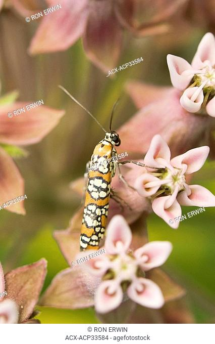 An Ailanthus Webworm Moth Atteva punctella on Milkweed on Barrie Island, Manitoulin Island, Ontario, Canada - this moth is a migrant from Central and South...