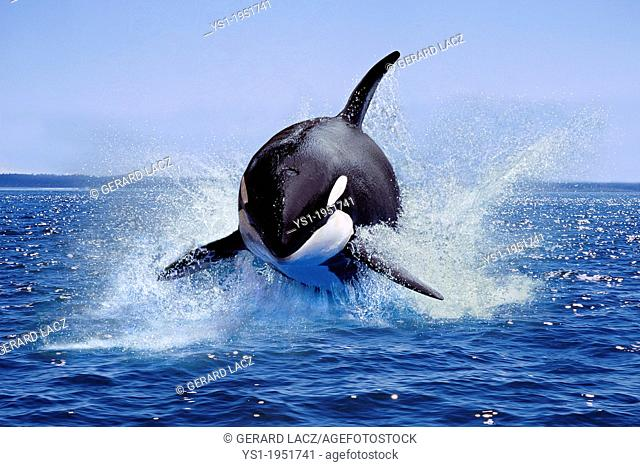 Killer Whale, orcinus orca, Adult Leaping, Canada