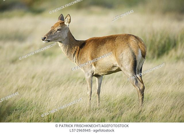 Red deer hind, Richmond park, London, England