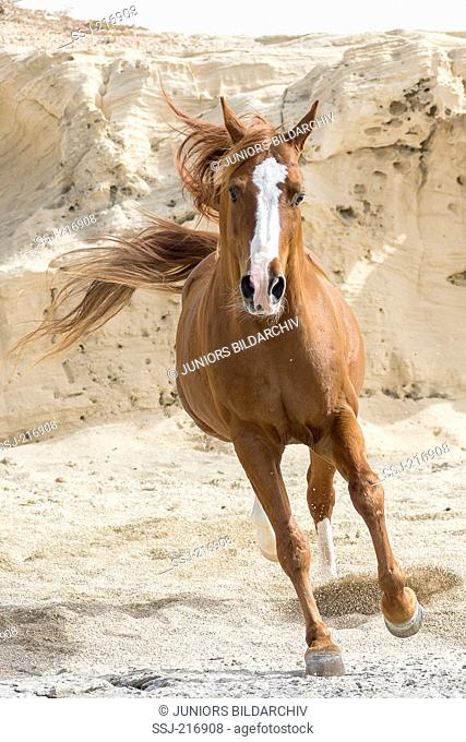 Arab Horse. Chestnut stallion galloping on a beach with rocks in background. Tunisia