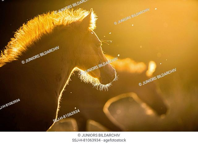 German Riding pony. Two foals in evening light. Germany