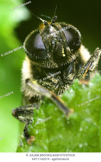 Extreme close up of the face of a hoverfly, Eristalis species, looking over the edge of a leaf