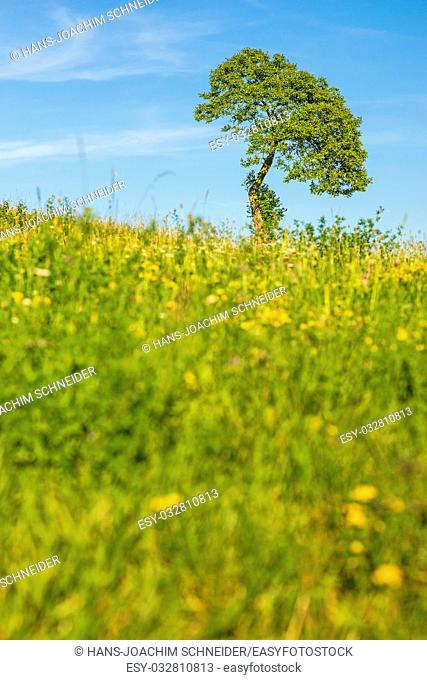 tree on a green meadow with a blue sky in Germany