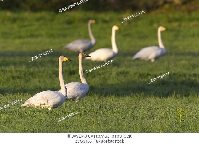 Whooper Swan (Cygnus cygnus), small flock standing in the grass, Kuusamo, Lappland, Finland