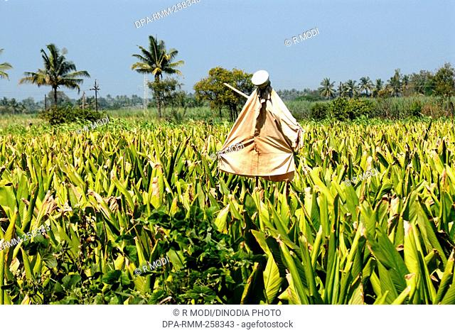 scarecrow in field, sangli, maharashtra, India, Asia