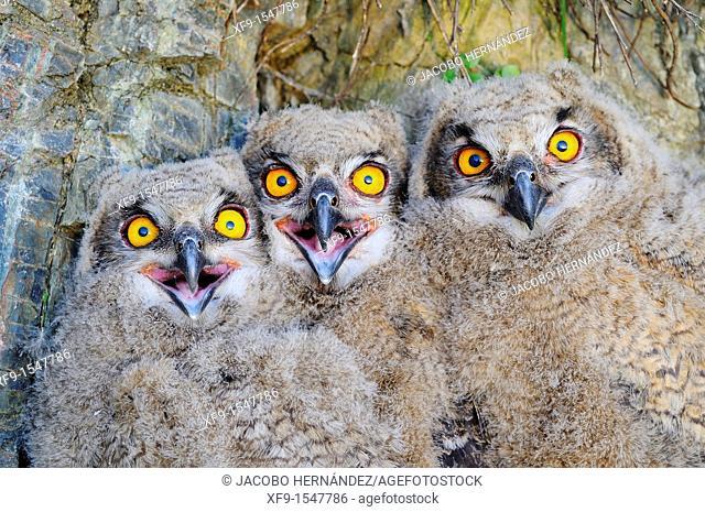 Eagle Owl. Bubo bubo. Badajoz province. Extremadura. Spain
