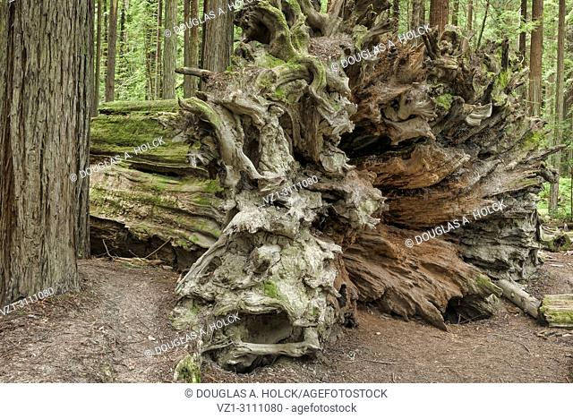 Down but not forgotten, an old fallen giant redwood (Sequoia sempervirens) continues to add beauty to the forest of the Avenue of Giants, Northern California