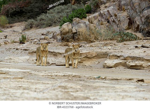 Desert lion (Panthera leo) on the Hoanib dry river, young males, Kaokoveld, Kunene Region, Namibia