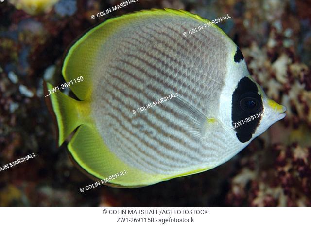 Panda Butterflyfish (Chaetodon adiergastos), Romeo dive site, Wayil Island, Misool, Raja Ampat (4 Kings), West Papua, Indonesia