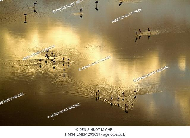 Kenya, Magadi lake, flamant nain, lesser flamingo (Phoeniconaias minor), feeding at dawn
