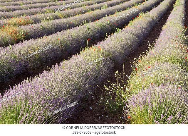 Poppy and Wildflowers in Lavender field, (Papaver rhoeas), (Lavandula vera), Plateau de Vaucluse, Provence, France